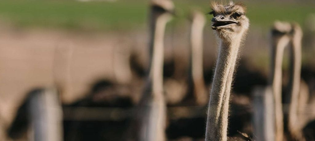ostrich oudshoorn